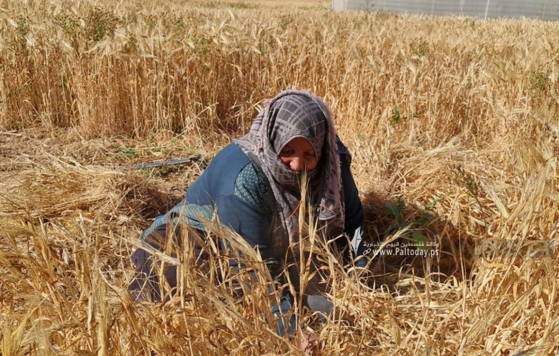 موسم حصاد القمح