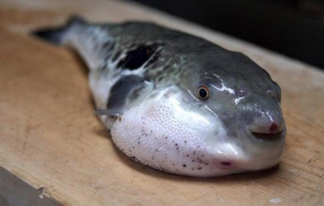 سمك الارنب