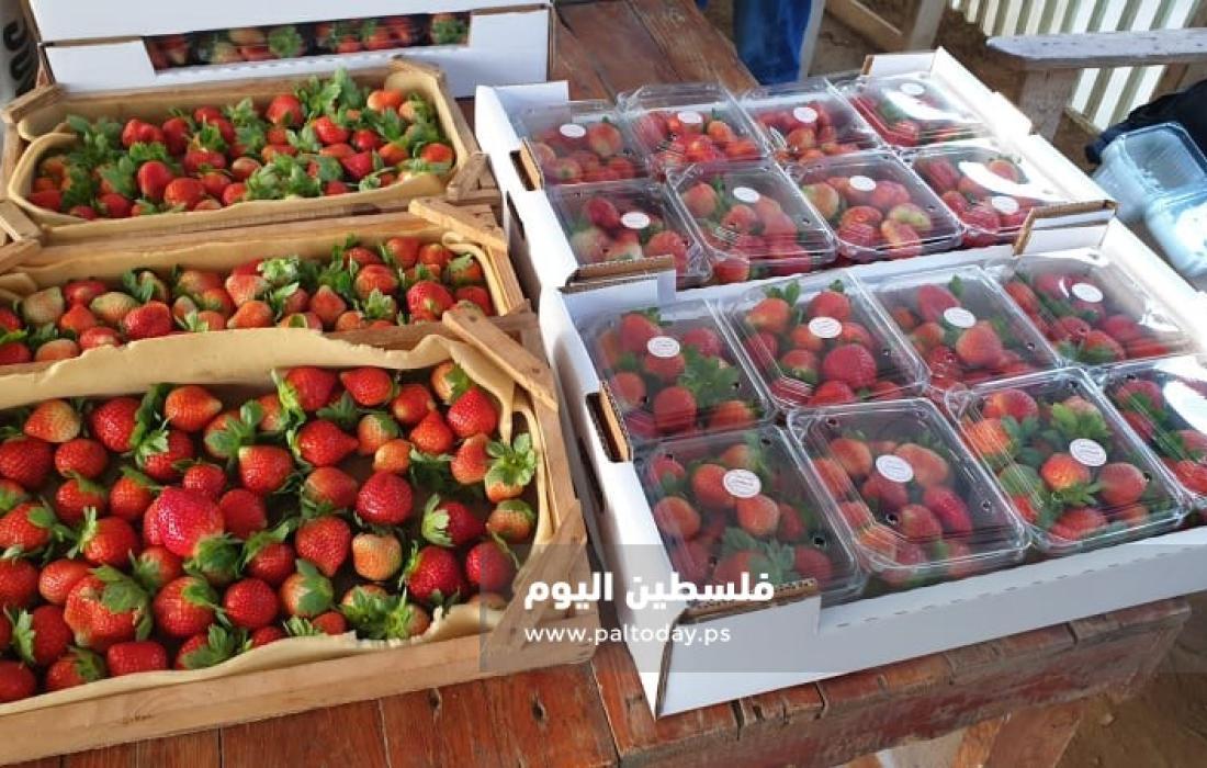 فراولة غزة10