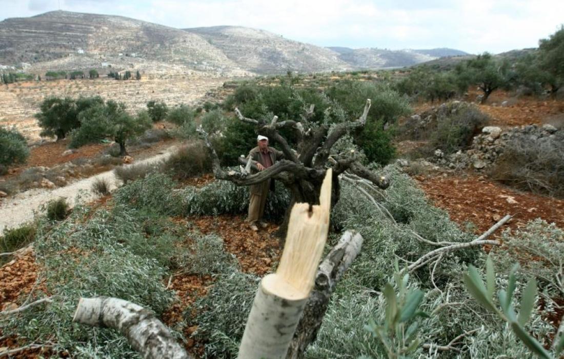 مستوطنون يقتلعون أشجار زيتون من أراضي الفلسطينيين شرق نابلس