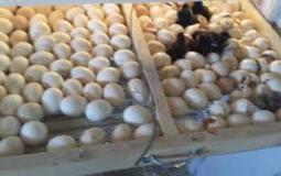 بيض الفقاسات.jfif