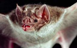 (خفاش) المسبب لفيروس كورونا