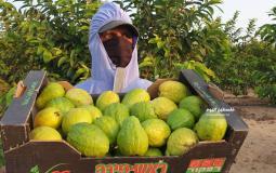 موسم قطف الجوافة (14)