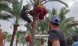 موسم جني ثمار البلح في قطاع غزة