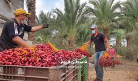 ثمار البلح (4)